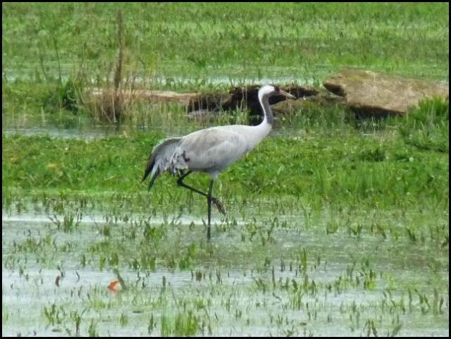Common Crane 150416 (1)