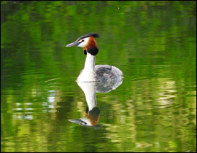 Great Crested Grebe 300416