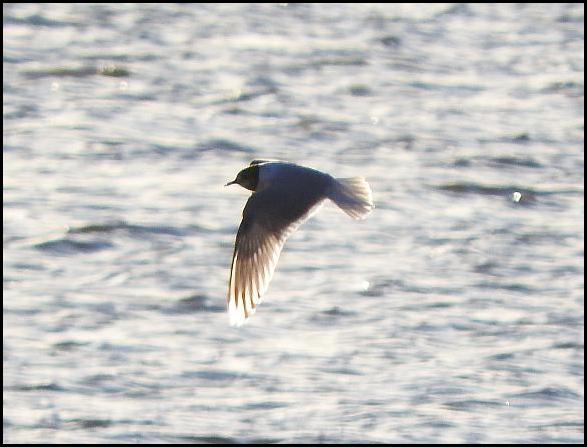 Little Gull 1 090416