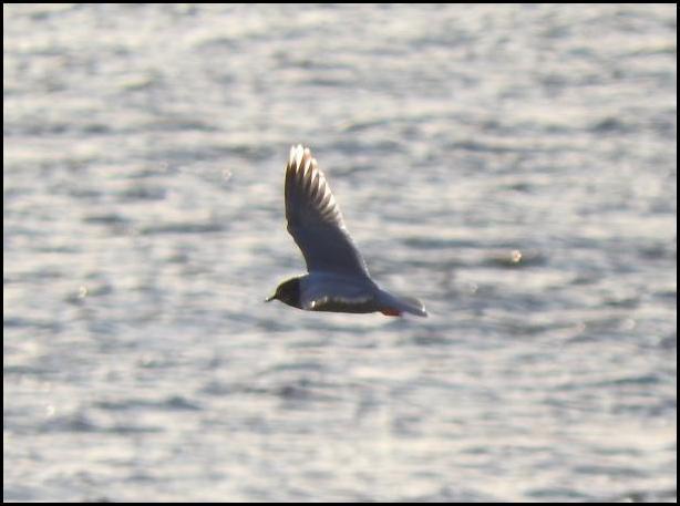 Little Gull 2 090416