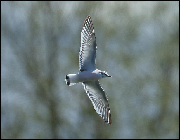 Little Gull 290416
