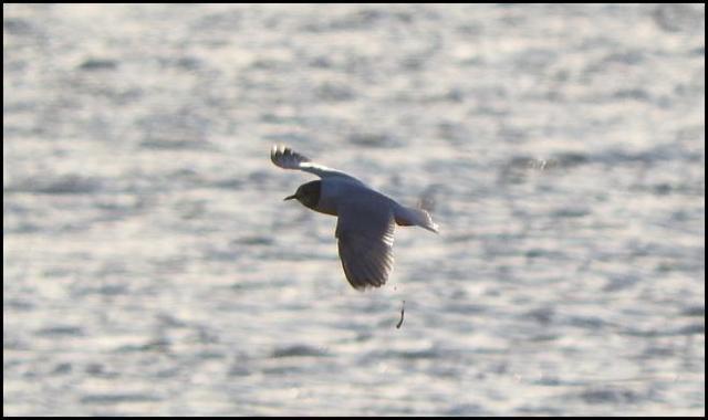 Little Gull 3 090416