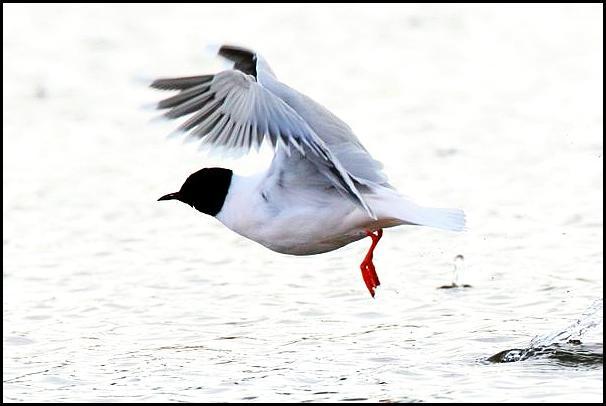 Little Gull 300416.jpg