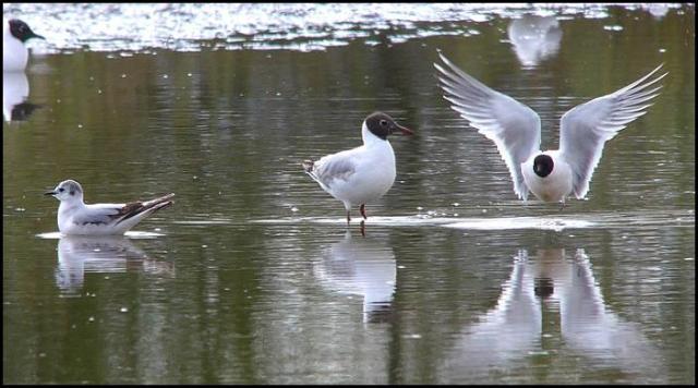 Little Gulls 300416