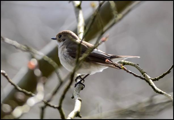 Pied Flycatcher 160416