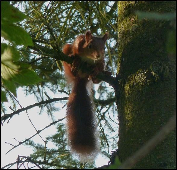 Red Squirrel 0914