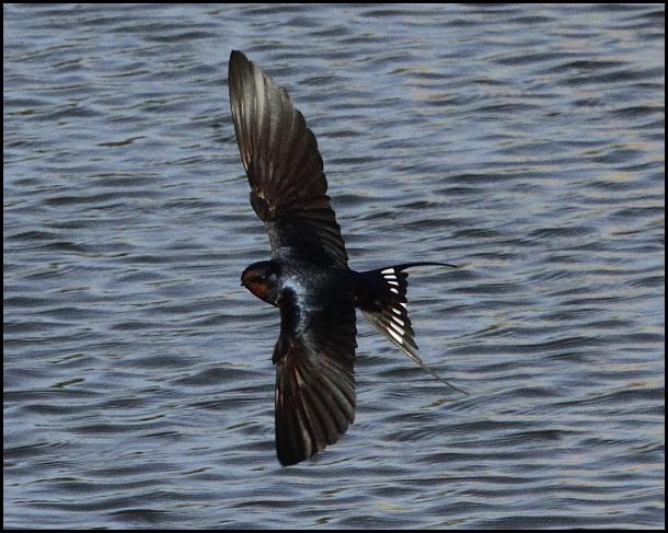 Swallow 200416