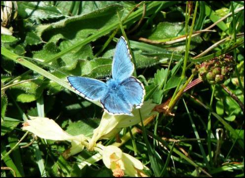 Adonis Blue 290516