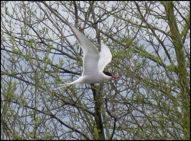 Arctic Tern 020516