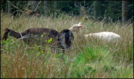 Fallow Deer white 280516.jpg