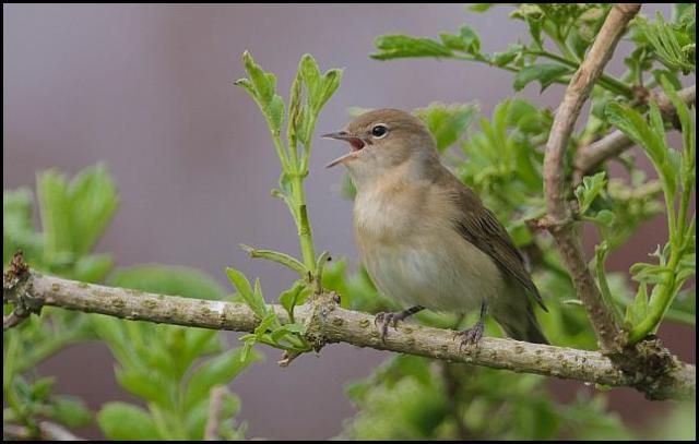 Garden Warbler 070516