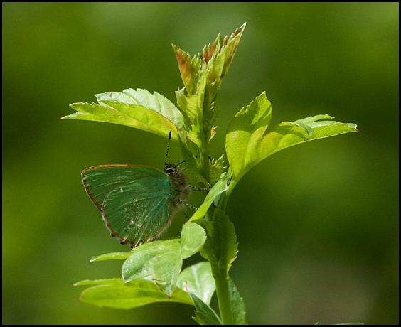 Green Hairstreak 120516