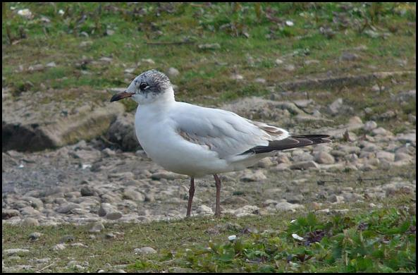 Mediterranean Gull 070516