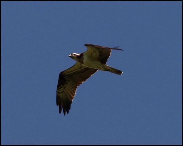 Osprey 160516