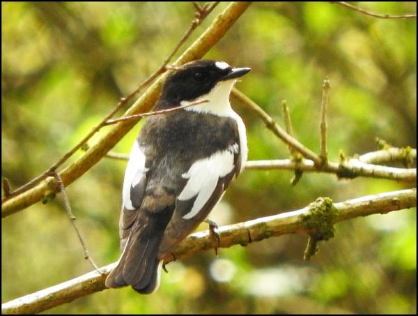 Pied Flycatcher 060516