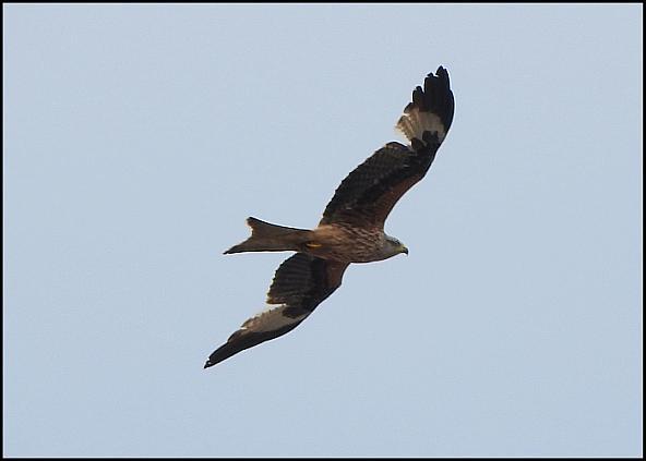 Red Kite 130516