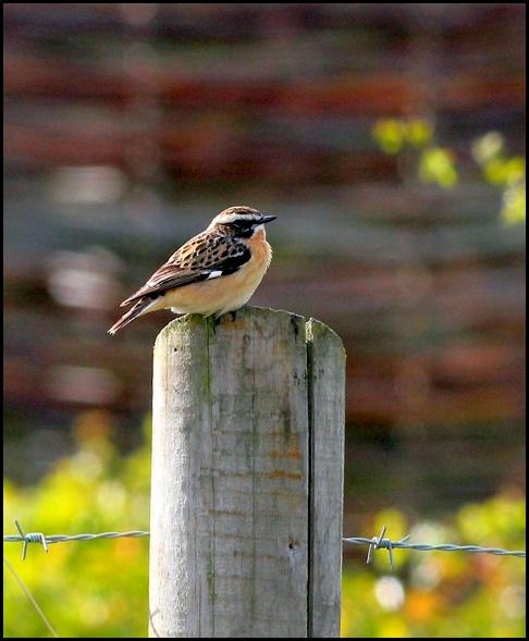 Whinchat 010516