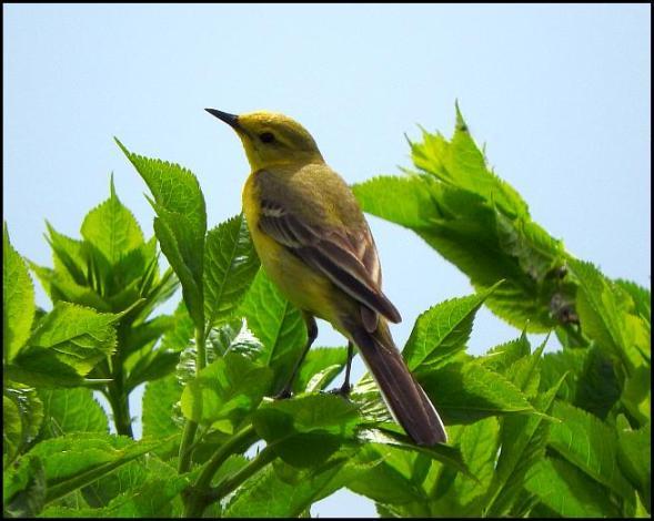 Yellow Wagtail 200516