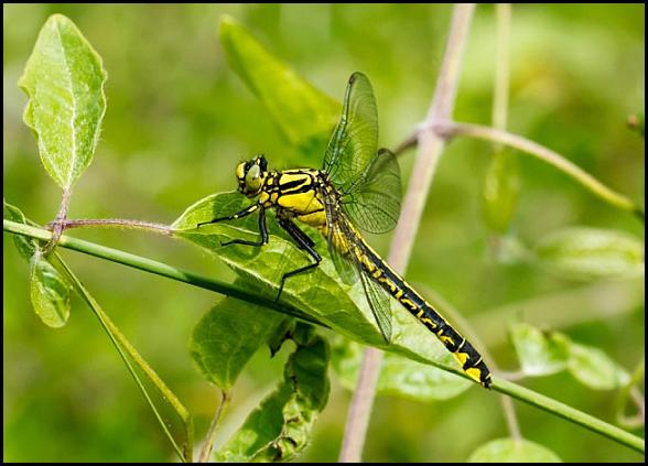 Club-tailed Dragonfly 070616