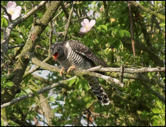 Cuckoo 260616