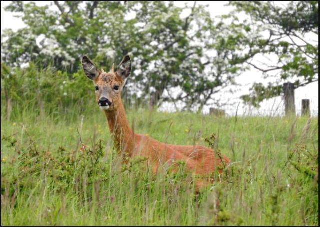 Roe Deer 040616
