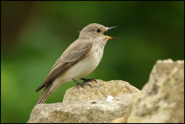 Spotted Flycatcher 040616