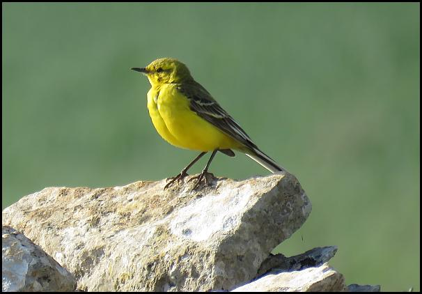 Yellow Wagtail 120616