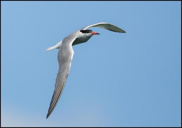 Common Tern 180716