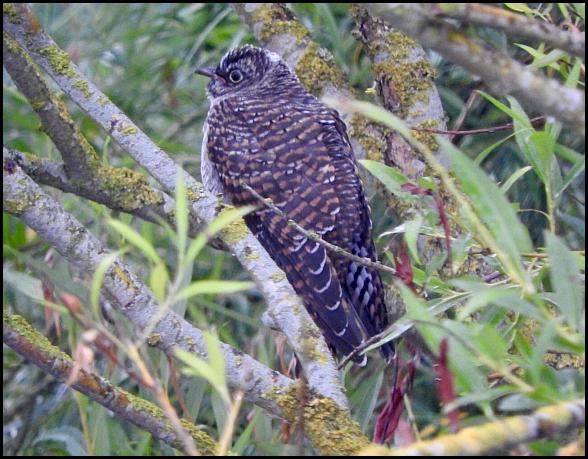 Cuckoo 120716