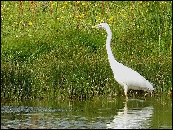 Great White Egret 140716
