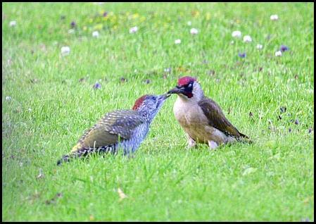 Green Woodpeckers 020716