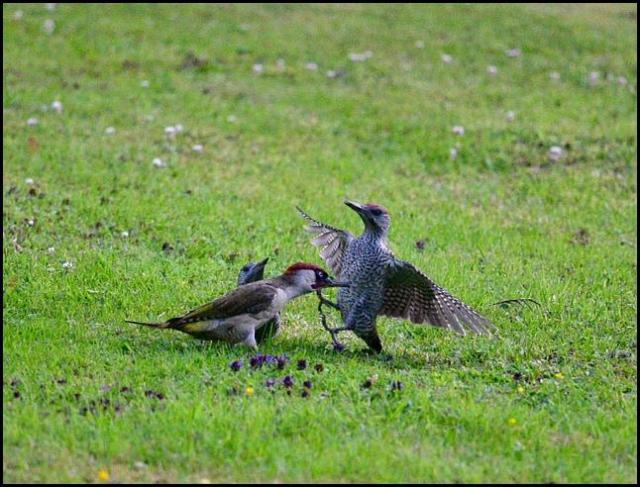 Green Woodpeckers 150716