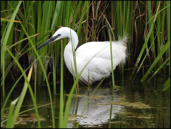 Little Egret 080716.jpg