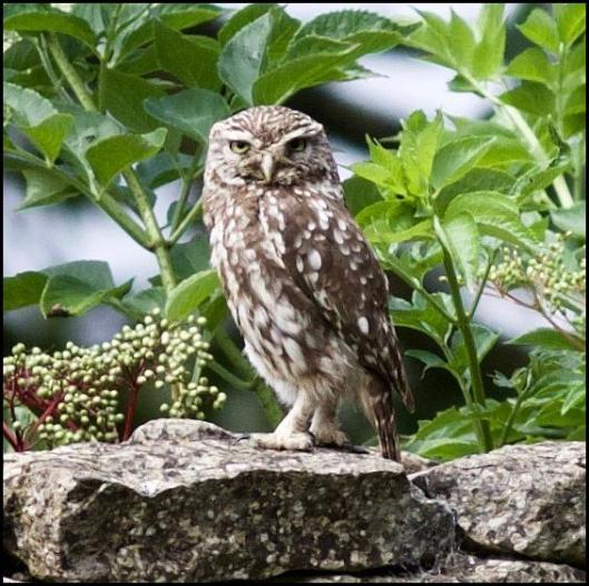 Little Owl 1 290716