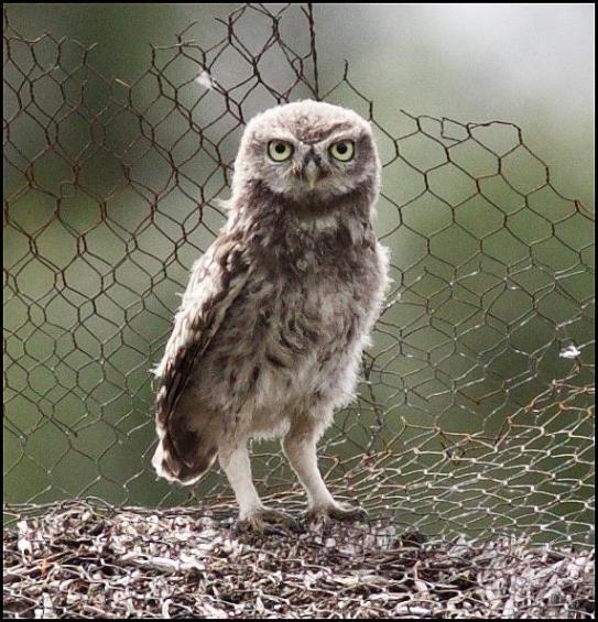 Little Owl 2 290716