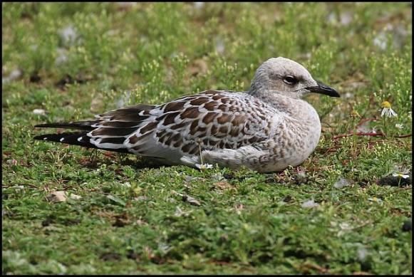 Mediterranean Gull 310716