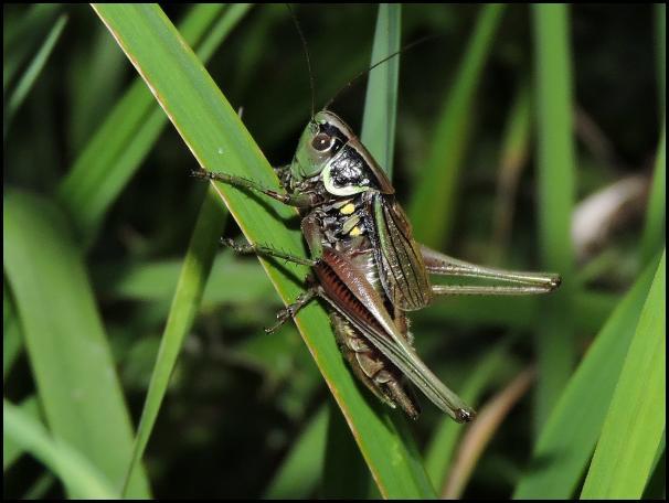 Roesel's Bush Cricket 270716