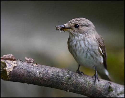 Spotted Flycatcher 080716