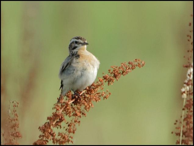 Whinchat 170716