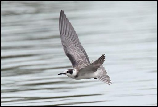 Black Tern 2 240816