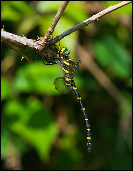 Golden-ringed Dragonfly 060816