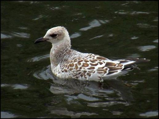 Mediterranean Gull 040816