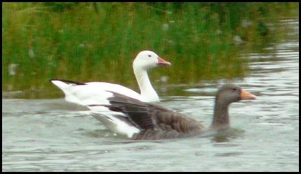 Snow Goose 210816