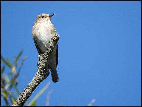 Spotted Flycatcher 290816