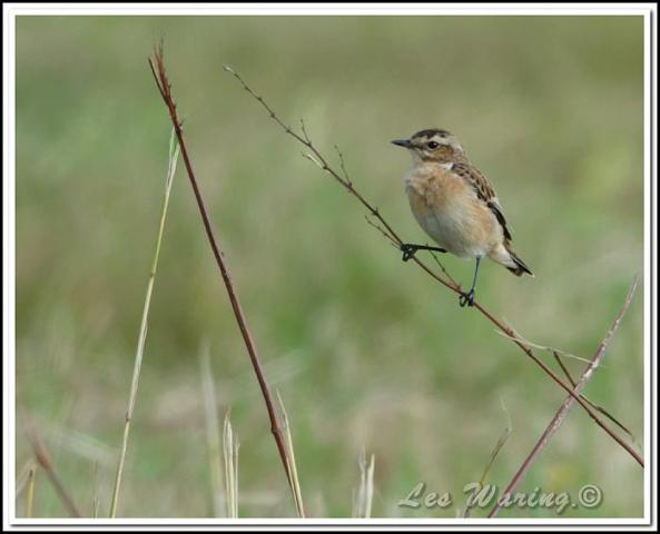Whinchat 210816