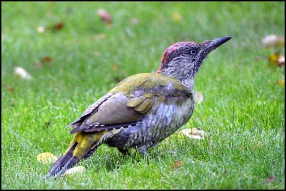 green-woodpecker-270916