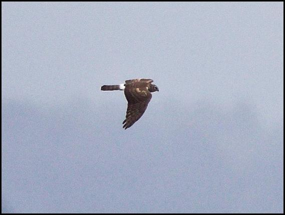 hen-harrier-290916