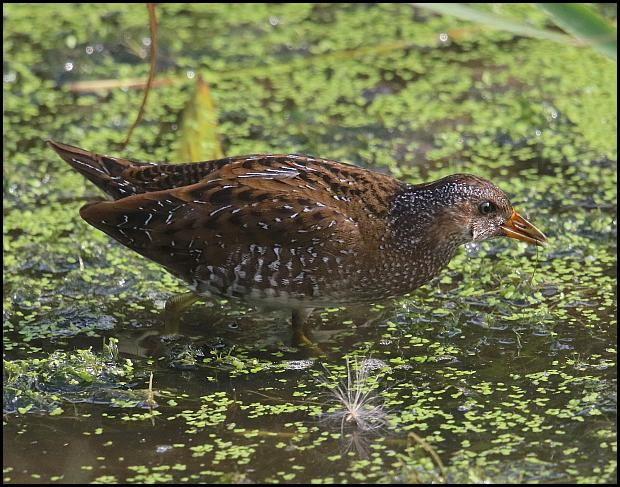 spotted-crake-1-210916