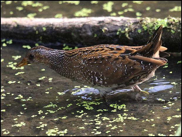 spotted-crake-2-210916