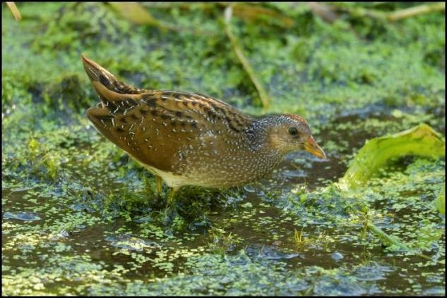 spotted-crake-2-230916